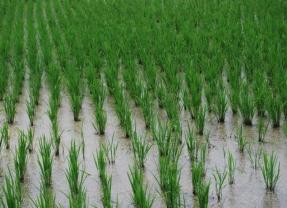 Sake: This Year's Rice Report