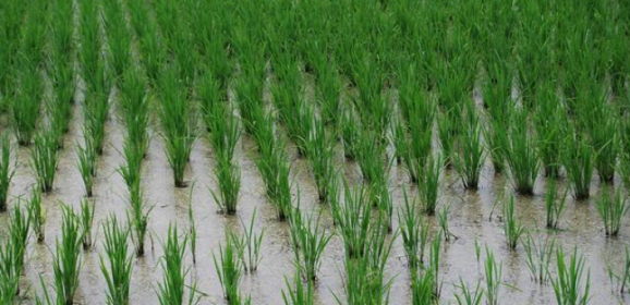 Sake: This Year's Rice Report